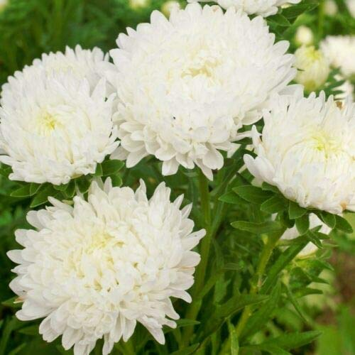 CHINA ASTER (Callistephus Chinensis white) 400 seeds