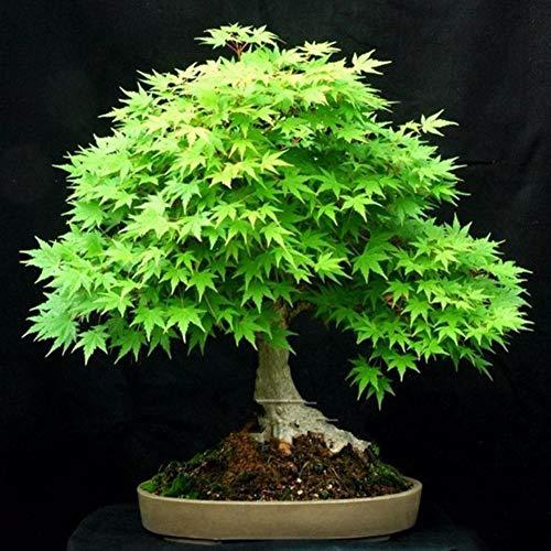 Bornbayb, 20 pièces graines d'érable Vertes graines de bonsaï à Planter à la Maison