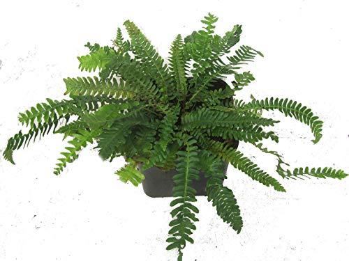 Rippenfarn - Blechnum spicant - als Kübelpflanze Balkonpflanze, Schattenpflanze Beetpflanze