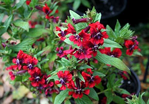 vegherb Neu! 15+ Cuphea Scarlet Red Zigarre Pflanze Blumensamen Stauden
