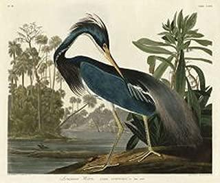 Louisiana Heron by John James Audubon Wildlife Bird Animal Nature Poster (Choose Size of Print)