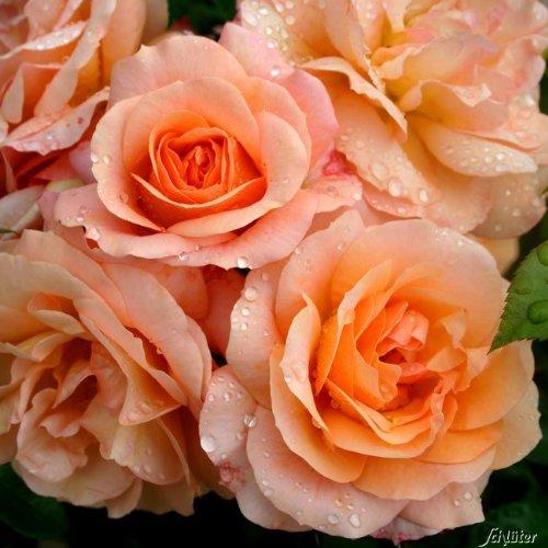 Rose 'Aprikola®' - Beetrose...