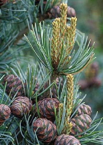 TROPICA - Mädchenkiefer (Pinus parviflora) - 10 Samen