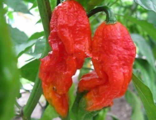 200 Red Bhut Jolokia Seeds Esprit Pepper Naga Jolokia HOT Chilli livraison gratuite