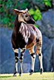 Poster 40 x 60 cm: Wachsames Okapi von TUNS/imageBROKER -