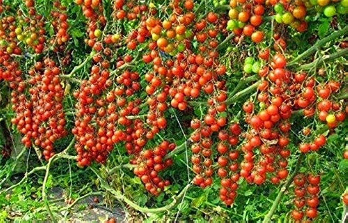パール正確アラブサラボ黄:野菜非GMOPotホームガーデン工場トマトトマト盆栽食用トマトクライミング100 /袋