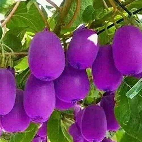 QHYDZ Garden-30pcs Raras Semillas Frutales Kiwi Amarillo Purpula Resistente, Exoticas Perenne Semillas Arbol de Kiwi Bonsai Exterior para Patio, Jardin Granja …