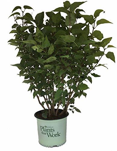 Plants That Work Tiny Dancer Lilac - Syringa Vul. Tiny Dancer - 3 Gallon