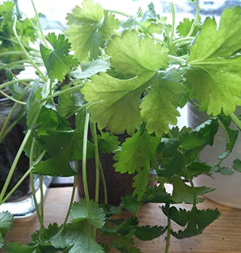 PLAT FIRM Germination Les graines: 70 Santo Organic, Coriandre Coriandre de longue date, chinois persil graines fines herbes