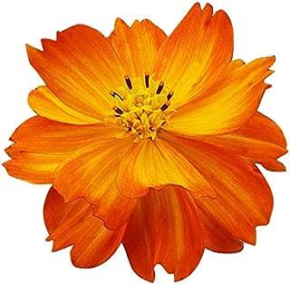 Sulphur Orange Cosmos Seeds - Good Results in All Zones