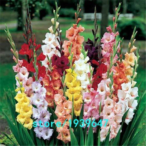 Bloom Green Co. Vente chaude Graines Jaune glaïeul Jardin et Patio Jardin Fleurs en pot Gladiolus Graines de fleurs vivaces 100PCS: 3
