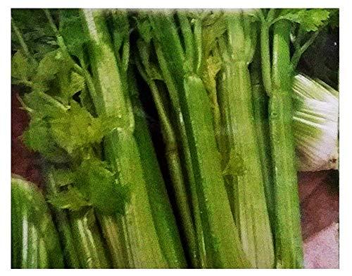 Semillas de apio verde Elne - apium graveolens - semillas agrícolas - apio - alrededor de 12600 semillas