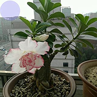 YoYoBoo 2016 New Double Petals Big Blooms 'Pink Lover' Water Pink White Desert Rose 'Adenium' with rose pink edge