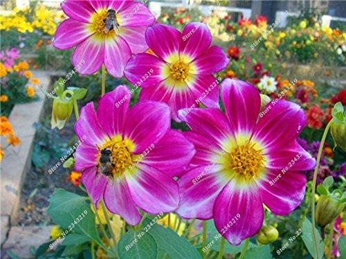Jardin Mary Flower Seed, Mini Dahlia Bonsai Fleur plantes en pot, la croissance naturelle, Importation multi couleur de la fleur italienne 100 Pcs 17