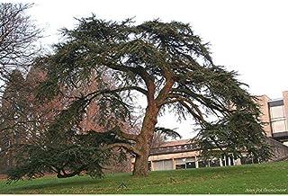 Cedrus libani: Cedar of Lebanon Seeds