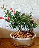 Live Plant - Dwarf Pomegranate Bonsai Tree Real Fruit Indoor Bonsai