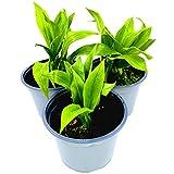 Bärlauch Pflanze Allium ursium von Florapartner Kräuter Pflanzen 4stk.