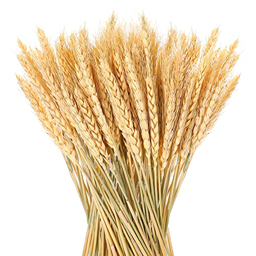 150 Pieces Natural Dried Wheat Stalks Golden Wheat Sheaves Stems Fall Harvest Wheat Bouquet Bunch for DIY Flower Arrangements Thanksgiving Home Wedding Table Decor (150 Pieces)