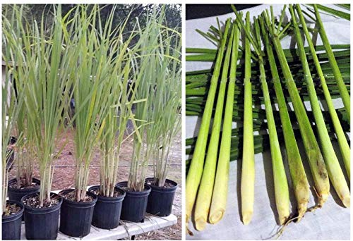 Lemongrass 5 Live each 4-7 Inch Tall Fully Rooted Pot not Included...