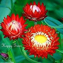 HOT - STRAWFLOWER Scarlet Red - 900 Seeds Helichrysum bracteatum - Everlasting Flower