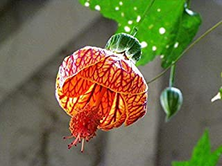 50 Pcs / Bag, Abutilon Striatum Seeds, Diy Potted Plants, Indoor / Outdoor Pot Seed Germination Rate of 95% Mixed Colors