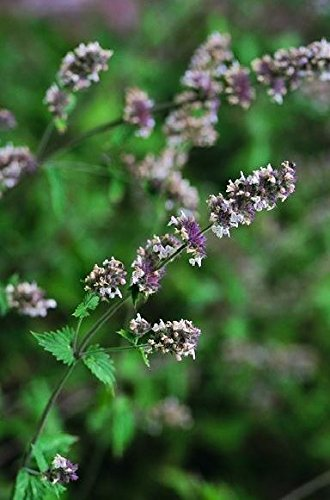 Just Seed???herbes???Catmint???Herbe ? chat???Nepeta Cataria???1500?graines