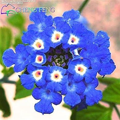 Foto di 150 pz Semi Rare Olanda Arcobaleno Fiore di giardino domestiche di semi di fiore raro semi variopinti Lantana