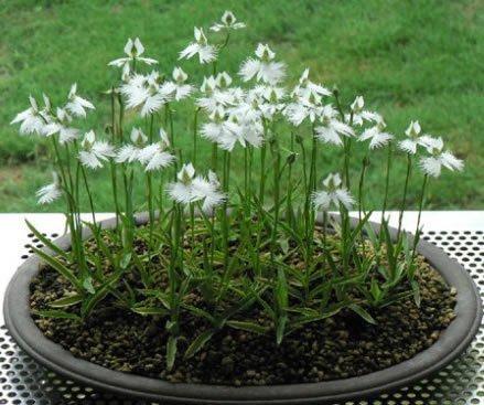 Fleurs rares monde Les Graines Radiata japonais 2016 VENDUES HOT Pour Garden & Home Plantation Livraison gratuite Fleurs Blanches spéciales