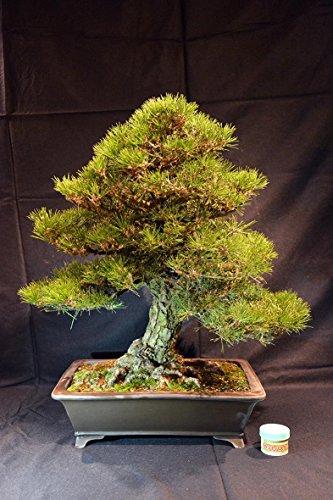Pine thumbergii, Pinus thumbergii 70 cm, Japanse bonsai