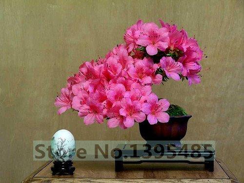 10pcs / lot Crape graines blooms myrte graines en pot de fleurs et plantes de jardin graines de fleurs saisons nature facile fleur