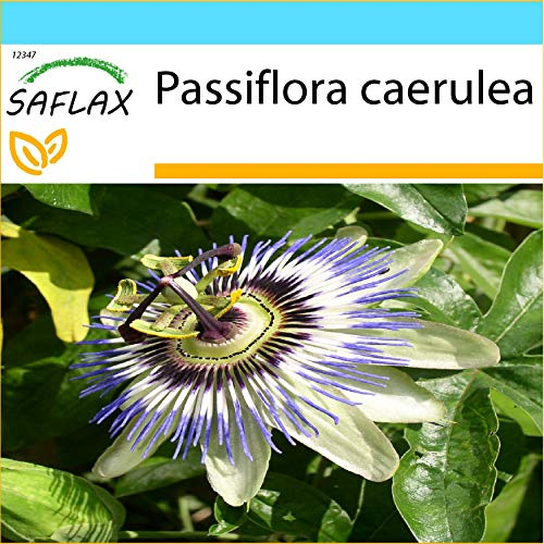 SAFLAX - Kit cadeau - Passiflore bleue - 25 graines - Passiflora caerulea