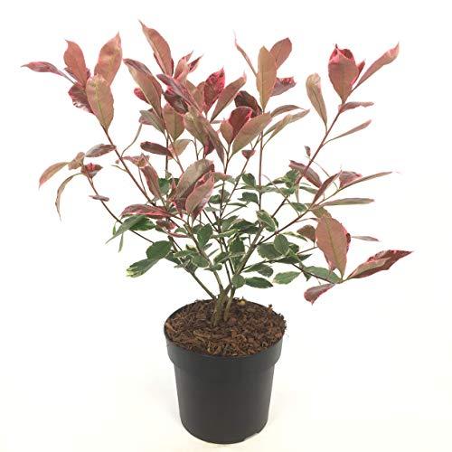 Setos y arbustos de Botanicly – Níspero brillante – Altura: 40 cm – Photinia Fraseri Louise