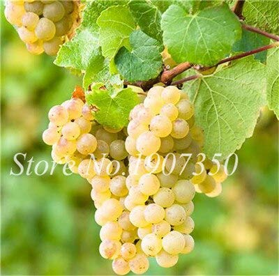 Kalash New 100pcs Grape Fruit SEED für Gartenhellgrün