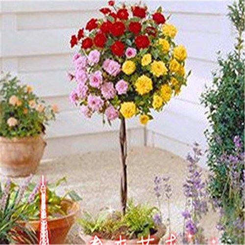 Shopmeeko 100 seltene Rosenbaum-Bonsai-Pflanzen Chinesische Rosen-Bonsai-Pflanzen, Bonsai-Baumrosen-Bonsai-Pflanzen, Pflanzen-Bonsai-Pflanzen