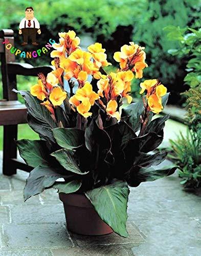 ScoutSeed 20 STÜCKE Canna Samen Schöne Blume Bonsai Samen MIX Canna INDICA LILY Pflanze NEU