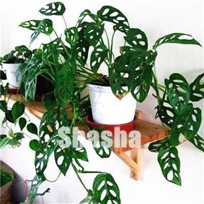 50Pcs / Tasche Bunte Palm Schildkröte Blätter Samen Indoor Monstera Samen Mixed Startseite Perennial Laub Blumensamen: 11
