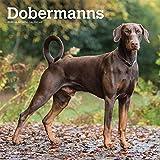Dobermans International - Dobermänner 2020 - 16-Monatskalender mit freier DogDays-App: Original BrownTrout-Kalender [Mehrsprachig] [Kalender] (Wall-Kalender)
