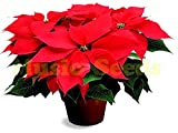 1bag=150 pcs Poinsettia Seed Euphorbia Pulcherrima potted Plants Flowering Plants seeds for home garden plant outdoor plant