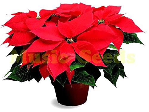 1bag = 150 pcs Poinsettia Seed Euphorbia Pulcherrima pot Plantes à fleurs Plantes semences pour la maison jardin plante plante extérieur