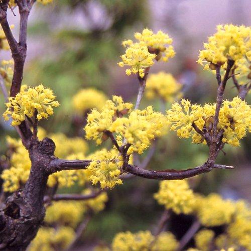 サンシュユの苗木