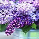 HONIC 100 Pcs/Sac Bonsai Lilas (très odorant) Girofle Fleur Lilas Arbres en Pot extérieur Plantes pour Jardin Décoration: 12