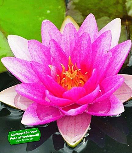 BALDUR Garten Seerose (Nymphaea) Pink, 1 St. Wasserpflanze Teichpflanze