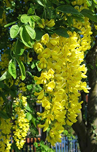 60 Seeds: Lovely Golden Chain Baum, Gemeiner Goldregen, Samen (Auffälliges, Hecke, Pergola)
