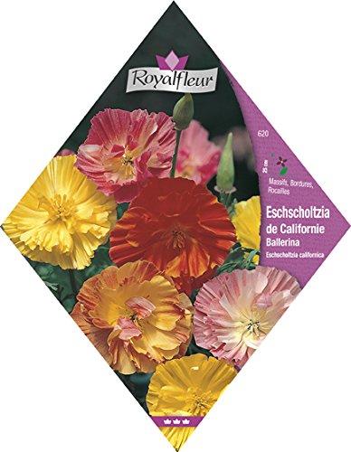 Royalfleur PFRV00620 Graines de Eschscholzia de Californie Ballerina