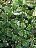 Cotoneaster dammeri var. radicans -Teppichmispel - Zwergmispel - Kriechmispel - immergrün - Preis nach Stückzahl Einzelpreis