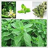 ホームガーデン1000新ステビア種子ステビアSemillas、中国の安いハーブの種ステビアハーブ種子植物