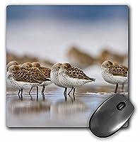 """3drose wa、ボトルビーチ、Grays Harbor、ヒメハマシギ鳥マウスパッド、8"""" x 8"""" (MP 95654_ 1)"""