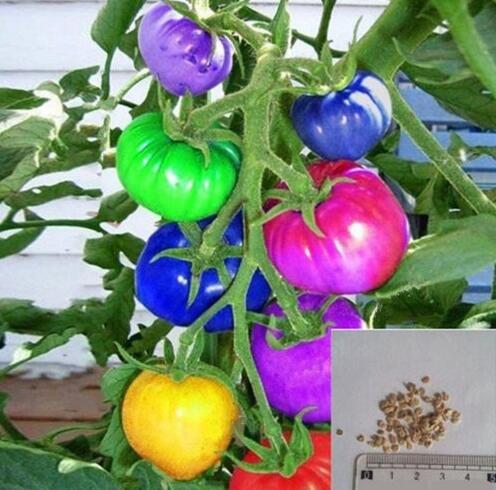 100 pcs / paquet Précipité nouvelles Plantes d'extérieur Promotion Jardin graine de tomate fruits en pot Bonsai Balcon légumes semencières 4