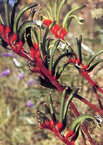 TROPICA - Patte de kangourou - rouge - (Anigozanthos manglesii) - 60 graines- Australie