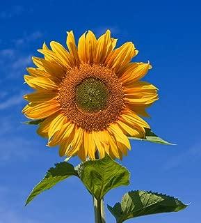Skyscraper Sunflower 50+ Seeds